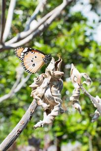 枯れた木に止まる蝶々のオオカバマダラの写真素材 [FYI04642361]