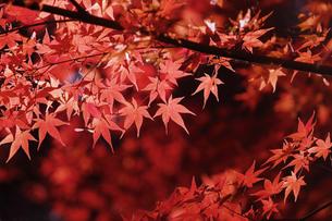 紅葉するモミジの写真素材 [FYI04642519]