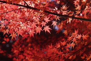 紅葉するモミジの写真素材 [FYI04642520]