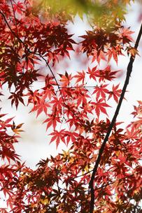 紅葉するモミジの写真素材 [FYI04642523]