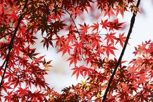 紅葉するモミジの写真素材 [FYI04642524]