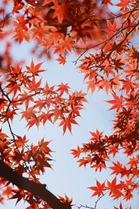 紅葉するモミジの写真素材 [FYI04642525]