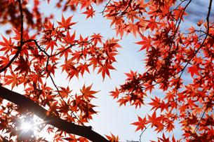 紅葉するモミジの写真素材 [FYI04642526]