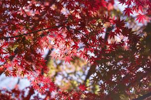 紅葉するモミジの写真素材 [FYI04642527]