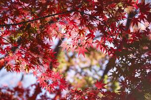 紅葉するモミジの写真素材 [FYI04642528]