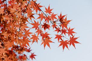 紅葉するモミジの写真素材 [FYI04642529]