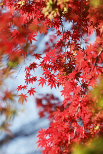 紅葉するモミジの写真素材 [FYI04642530]