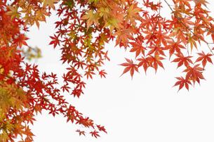 紅葉するモミジの写真素材 [FYI04642531]
