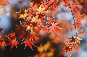 紅葉するモミジの写真素材 [FYI04642532]