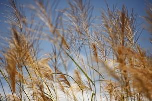 秋の青空とススキの写真素材 [FYI04642972]