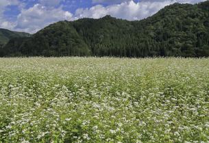 満開の蕎麦の花の写真素材 [FYI04643522]