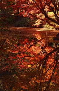 晩秋の六義園の紅葉の写真素材 [FYI04644331]