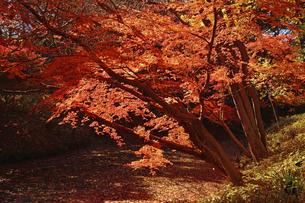 晩秋の六義園の紅葉の写真素材 [FYI04644340]