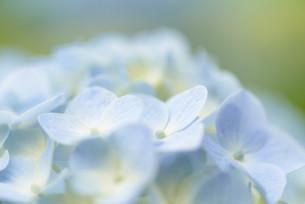 アジサイの花の写真素材 [FYI04644903]