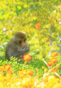国営アルプスあづみの公園のコスモスとニホンザルの写真素材 [FYI04645210]