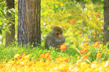 国営アルプスあづみの公園のコスモスとニホンザルの写真素材 [FYI04645211]