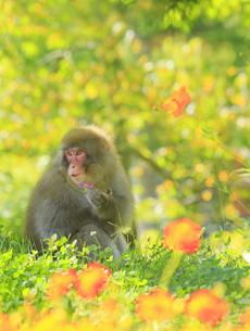 国営アルプスあづみの公園のコスモスとニホンザルの写真素材 [FYI04645212]
