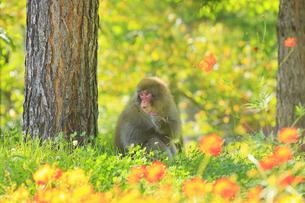 国営アルプスあづみの公園のコスモスとニホンザルの写真素材 [FYI04645213]