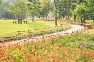 国営アルプスあづみの公園のコスモス畑と遊歩道の写真素材 [FYI04645238]
