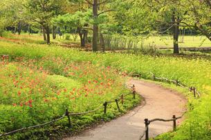 国営アルプスあづみの公園のコスモス畑と遊歩道の写真素材 [FYI04645239]