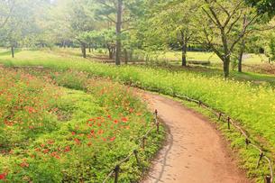 国営アルプスあづみの公園のコスモス畑と遊歩道と午後の光の写真素材 [FYI04645242]