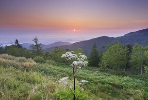 美ヶ原高原のシシウドと朝日と佐久方向の雲海の写真素材 [FYI04645284]