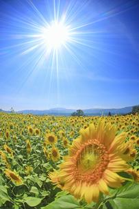 菜の花公園のヒマワリ畑と光の写真素材 [FYI04645294]