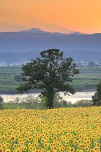 菜の花公園のヒマワリ畑と木立と千曲川の夕景の写真素材 [FYI04645301]