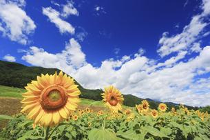 国営アルプスあづみの公園のヒマワリ畑の写真素材 [FYI04645314]