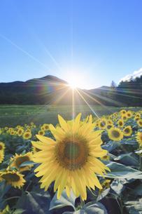 国営アルプスあづみの公園のヒマワリ畑と夕日の写真素材 [FYI04645316]