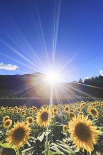 国営アルプスあづみの公園のヒマワリ畑と夕日の写真素材 [FYI04645319]