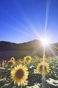 国営アルプスあづみの公園のヒマワリ畑と夕日の写真素材 [FYI04645321]