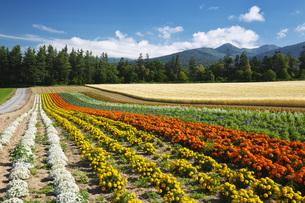 麓郷展望台の花畑の写真素材 [FYI04645581]