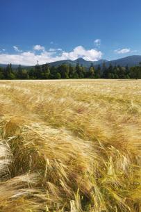 麓郷展望台の麦畑の写真素材 [FYI04645586]