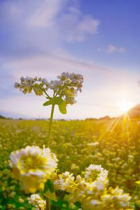 前山の蕎麦畑と朝日の写真素材 [FYI04645625]