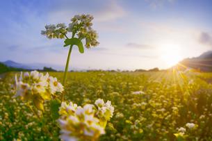 前山の蕎麦畑と朝日の写真素材 [FYI04645626]