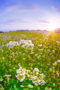 前山の蕎麦畑と朝日の写真素材 [FYI04645631]