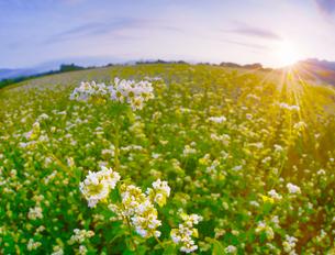 前山の蕎麦畑と朝日の写真素材 [FYI04645633]