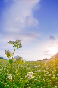 前山の蕎麦畑と朝日の写真素材 [FYI04645640]