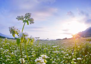前山の蕎麦畑と朝日の写真素材 [FYI04645641]