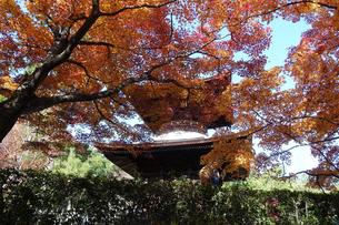 紅葉に染まった京都・嵯峨野の常寂光寺(多宝塔)の写真素材 [FYI04645776]