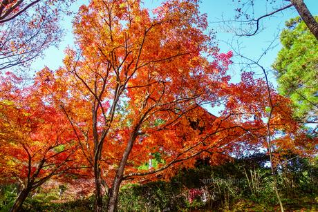 紅葉に染まった京都・嵯峨野の常寂光寺(多宝塔)の写真素材 [FYI04645789]