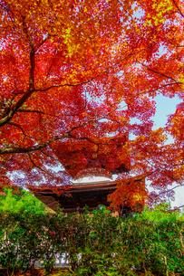 紅葉に染まった京都・嵯峨野の常寂光寺(多宝塔)の写真素材 [FYI04645793]