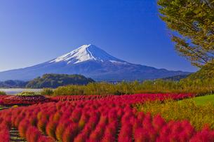 大石公園のコキアの紅葉と富士山の写真素材 [FYI04646133]
