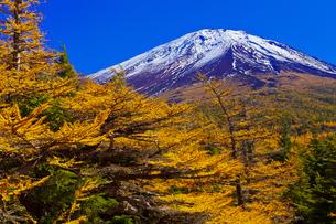 奥庭から見た富士山とカラマツの紅葉の写真素材 [FYI04646144]