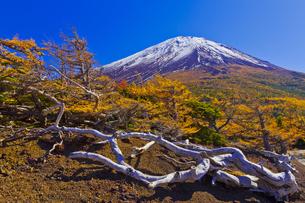 奥庭から見た富士山とカラマツの紅葉の写真素材 [FYI04646145]