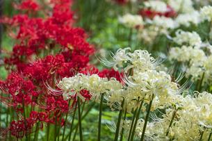 赤も白も綺麗に咲く彼岸花の園の写真素材 [FYI04648273]