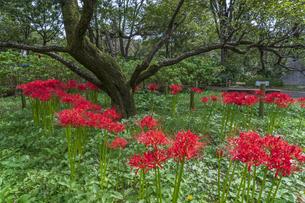 赤も白も綺麗に咲く彼岸花の園の写真素材 [FYI04648416]