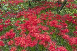 赤も白も綺麗に咲く彼岸花の園の写真素材 [FYI04648441]