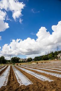 シルバーフィルムでマルチされたダイコン畑と夏空の写真素材 [FYI04656413]